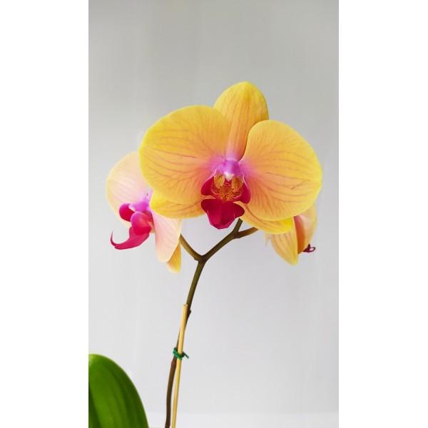 Lindas Orquídeas Peruanas